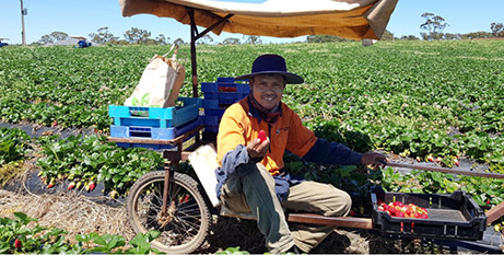East Timorese Catholic Deolindo Duli picks strawberries in the Adelaide Hills (The Southern Cross)